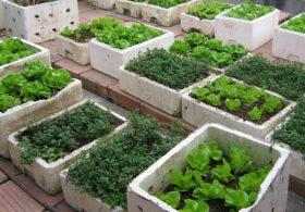 Kinh nghiệm trồng rau trong thùng xốp