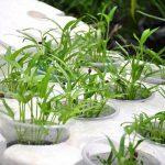 Kinh nghiệm trồng rau muống thủy canh