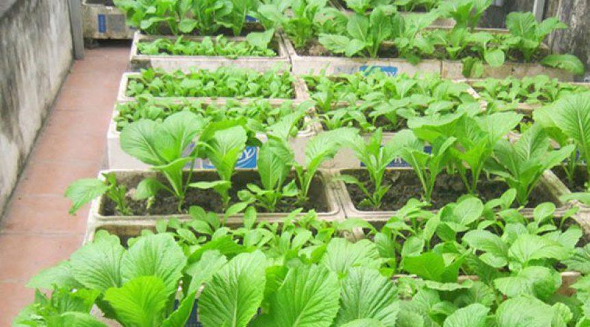 Kỹ thuật trồng rau cải đơn giản tại nhà